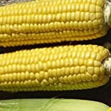Xtra-Sweet Hybrid Corn Seeds - 105 Seeds - Organic - DH Seeds - UPC0742137106605 - Plant Marker Included