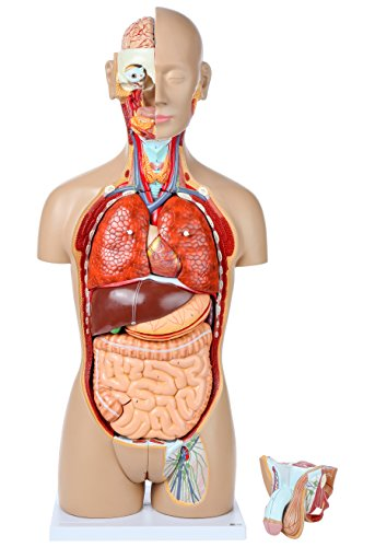 axis-scientific-human-torso-anatomy-model-with-27-removable-pieces-interchangeable-reproductive-syst