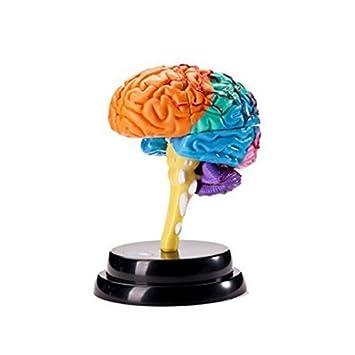 DingSheng Menschlichen Physiologischen Anatomie Modell Gehirn ...