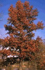 Red Oak Tree, 14-20 Inch