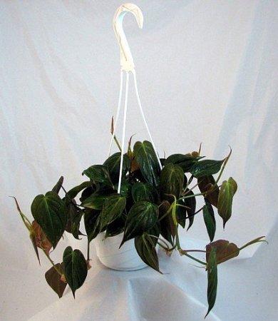 (Jmbamboo - Rare Velvet Leaf Bronze Micans Vine - 6