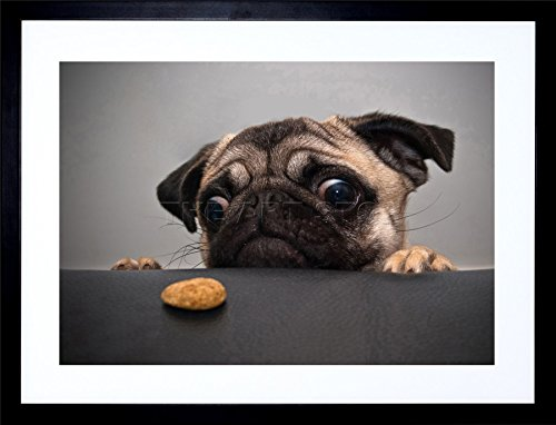 9x7 INCH ANIMAL PHOTOGRAPHY PORTRAIT PUG DOG TREAT FOOD EYES CUTE FRAMED WALL ART PRINT PICTURE PAINTING WOODEN PHOTO FRAME BLACK WHITE OAK BROWN F97X185 Black White Dog Prints