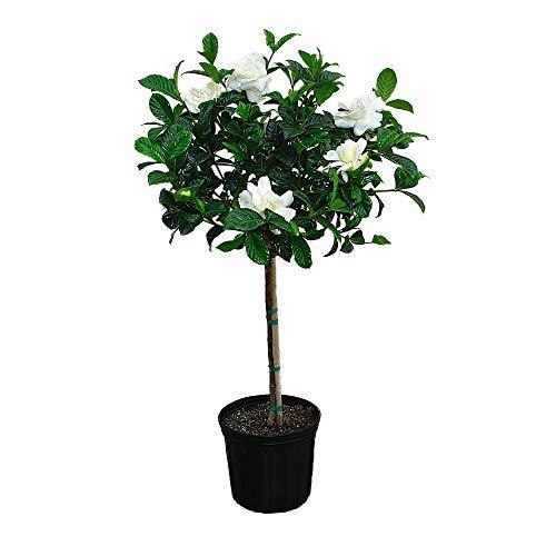 Fragrant Flowering Tree - AMERICAN PLANT EXCHANGE Miami Supreme Gardenia Tree Live Plant, 3 Gallon, Enormous Fragrant Blooms