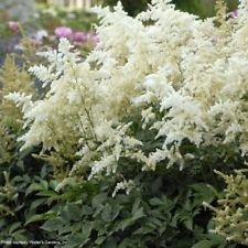 astilbe DEUTSCHLAND white false spirea fragrant 2.5