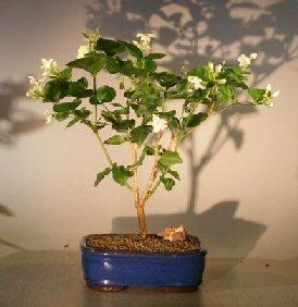Bonsai Boy Live Bonsai Plants (jasminum sambac)