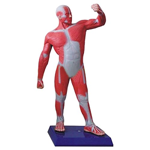 Tinsay Human Whole Body Muscle Sport Move Medical Art Teach Model Anatomical Human Muscular Figure Model