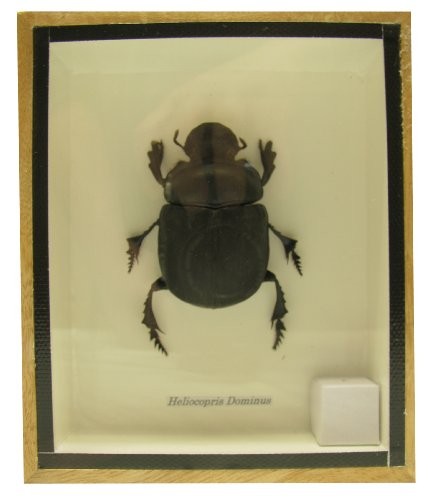 real-exotic-elephant-dung-beetle-specimen-heliocopris-dominus-female-preserved-taxidermy-insect-bug-
