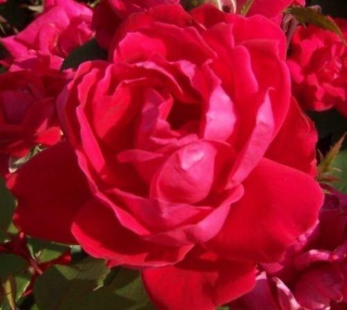 1 Gallon Pot Red Double Knockout Rose Live Plant Flower Planting