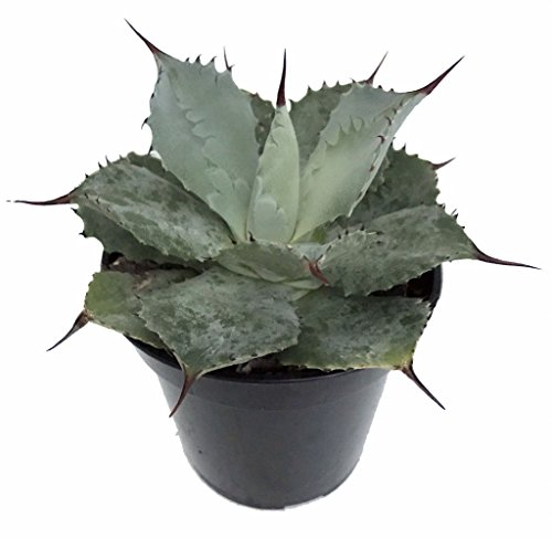 Tequila Blue Agave Cactus - 4.5