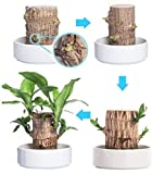 Mini Brazil Lucky Wood Hydroponic Potted Plant