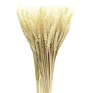 AQUEENLY Wheat Stalks, 50 PCS Natural Dry Wheat Decor for Christmas Wedding Home Office Decoration, 13.7 Inches 89