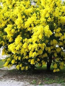 Nelesa Gardeninggolden Mimosa Yellow Wattle Tree Flower Seeds 5