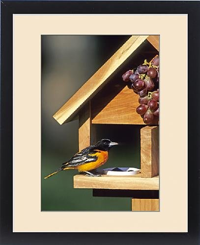 Framed Print of Baltimore Oriole (Icterus galbula) male on jelly a grape feeder Marion Co. IL by Fine Art Storehouse