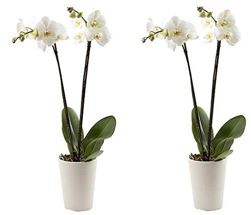 Color Orchids Orchid in ceramic pot, 20-24'' tall, Assorted (2-Pack)