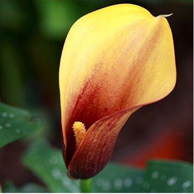 Seltene Grüne Calla-Lilien-Topf Samen Bonsai Balkon Blumen 20 Farben erhältlich 100 Partikel / lot