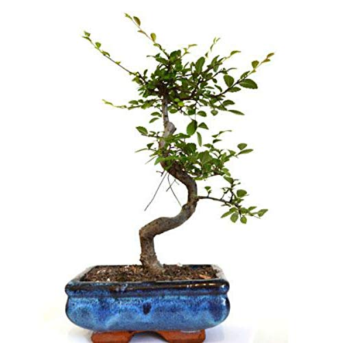 Chinese Elm Bonsai Tree Live Plant Nature Pot Indoor Outdoor Home Best Gift - USA_Mall