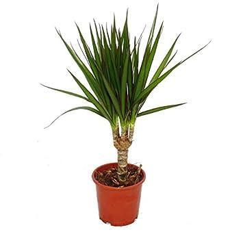 Drachenbaum Dracaena Marginata 1 Pflanze Pflegeleichte