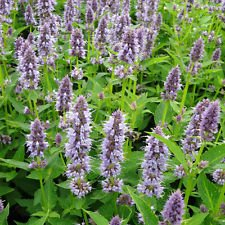 (New Anise Hyssop ANISE HYSSOP - Herb - Licorice Scented Foliage , 1235 + Seeds !)