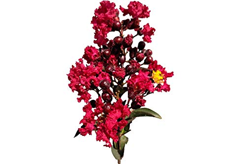 rapemyrtle Tree - Live Plant Shipped 2-3 Feet Tall (No California) ()