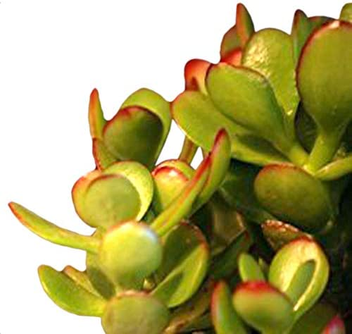9GreenBox – Jade Plant Bonsai with Fertilizer