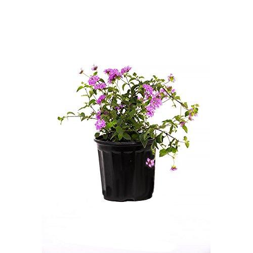 Broadleaf Cluster - AMERICAN PLANT EXCHANGE Lavender Lantana 1 Gallon Live Plant, 6
