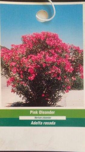 Amazon pink oleander plant flowers easy to grow home pink oleander plant flowers easy to grow home landscaping plants shrub garden mightylinksfo