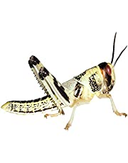 Heuschrecken 100 mittel Wüstenheuschrecken Futterinsekten Reptilienfutter