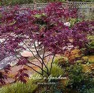30pcs Multi-colors Variety Japanese Maple Tree Bonsai Seeds Acer palmatum atropurpureum for Garden Planting All Season 01