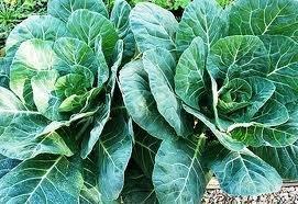 Seed Kingdom Collards Georgia Great Heirloom Vegetable Bulk 1 Lb Seeds