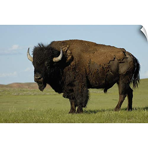 CANVAS ON DEMAND Pete Oxford Wall Peel Wall Art Print Entitled American Bison Male, Durham Ranch, Campbell County, Wyoming 18