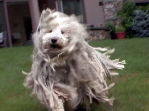 Irish Water Terrier (Komondor, Irish Water Spaniel, Samoyed, Shiba Inu, Wonder Dog, Greyhound, and Rat Terrier)