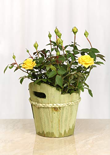 (Live Mini Yellow Rose Bush with Wooden Green Pail - 4 Inch Indoor Plant)