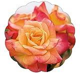 Joseph's Coat Rose Bush Apricot Climbing Rose 4'' Pot Organic Grown USA