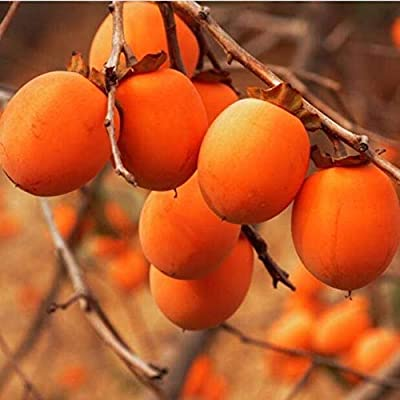 AchmadAnam - Live Plant - American Persimmon Tree, Great Fruit! Trees, Plant Now!. E18 : Garden & Outdoor