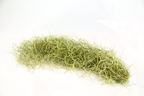 Air Plants - Tillandsia Usneoides - Spanish Moss Reduced 25%