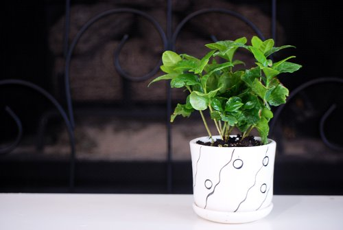 9GreenBox - Arabica Coffee Plant Bonsai with Fertilizer by 9GreenBox.com