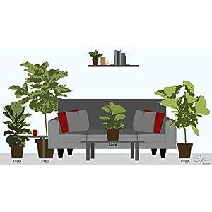 Costa Farms Live Indoor Ficus Lyrata 7