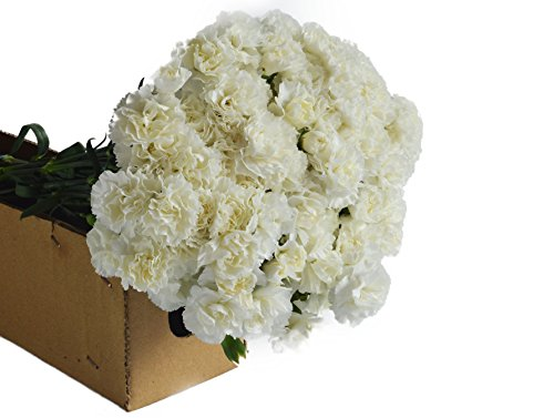 Farm2Door Wholesale Carnations: 75 Stems of Fancy White Carnations from Colombia - Farm Direct Wholesale Fresh Flowers