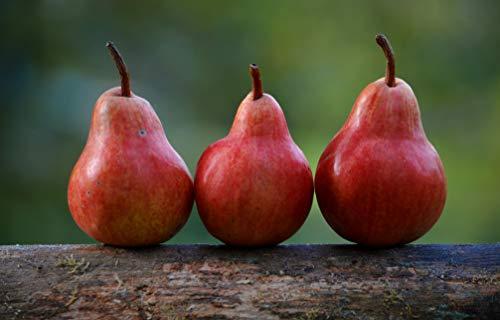 Tree Red Pear Shape (Art Print) ()