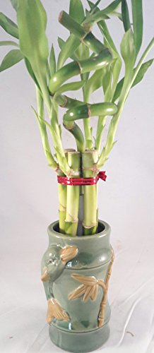 Jmbamboo - Live Spiral 7 Style Lucky Bamboo Plant Arrangement w/ dolphine unique from Jmbamboo (Bamboo Flower Arrangements)