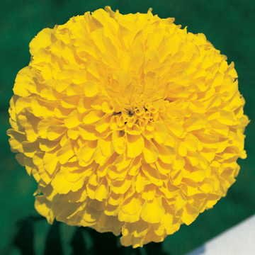 (Park Seed Inca II Gold Hybrid Marigold Seeds)