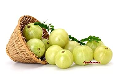 250 Graines Phyllanthus emblica , Amla , Indian Gooseberry , seeds