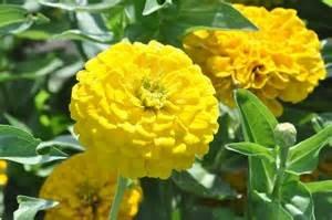 Yellow Lilliput Zinnia Seeds