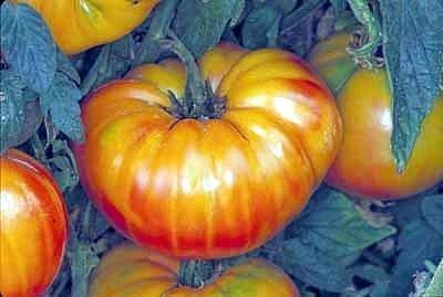 Tomato Pineapple Great Heirloom Vegetable Seeds 40 -