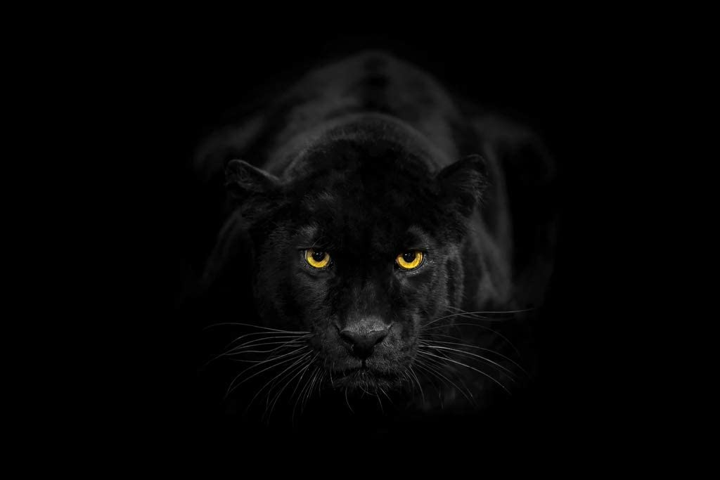Black Leopard Glowing Yellow Eyes Big Cat Crouched Face Portrait Animal Nature Photo Cool Wall Decor Art Print Poster 12x18
