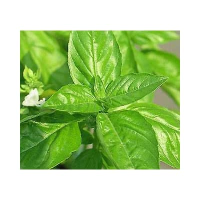1, 000 Seeds Basil Martina : Garden & Outdoor