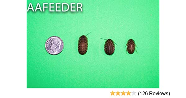 """Dubia Roaches to Feed Your Reptile about 3//4/"""" 150 Medium"""