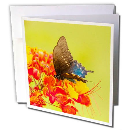3dRose Danita Delimont - Butterflies - USA, Texas, Hidalgo County. Pipevine swallowtail butterfly on flower. - 1 Greeting Card with envelope (Hidalgo Flower)