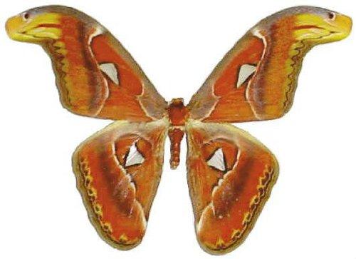 Mounted Attacus Atlas Moth Airtight Acrylic Frame (13