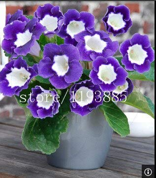 Seeds Flowers Planters Indoor Bonsai 150 PCS colouful Gloxinia Sinningia Bonsai Seed Pot Planters for DIY Home Garden (Random)